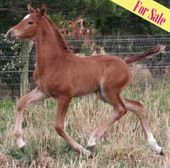 Aurum Edith - Dressage Foal for sale